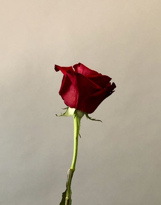 Title: Red Rose , Size: 22x17 , Medium: Photograph , Price: $350