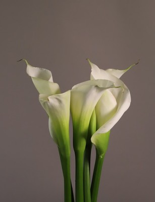Title: Calla Lilies, White , Size: 22 x 17 , Medium: photograph , Price: $350