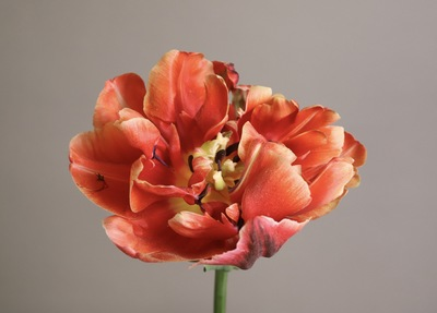 Title: Red Tulip , Size: 22 x 17 , Medium: photograph , Price: $350