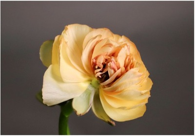 Title: Ranunculus 1/10 , Size: 20 x 30 , Medium: photo , Price: $750