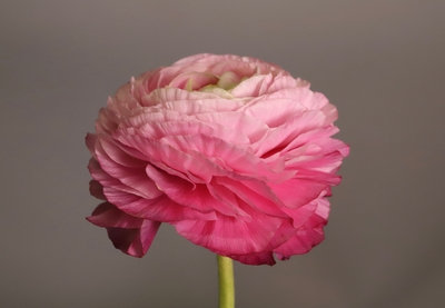 Title: Pink Ranunculus 1/10 , Size: 20 x 30 , Medium: photo , Price: $750