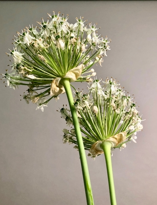 Title: Allium 1/10 , Size: 15 x 10 , Medium: photo , Price: $300