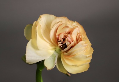 Title: Ranunculus (vertical) 1/10 , Size: 15 x 10 , Medium: Photo , Price: $300