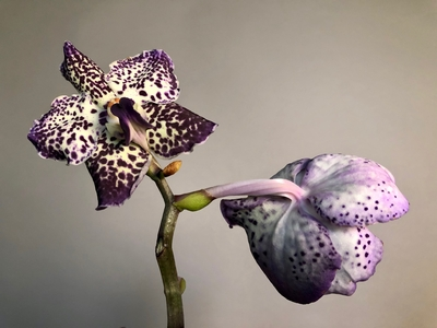 Title: Purple & White Orchid 1/10 , Size: 11 x 8.5 , Medium: photo , Price: $95