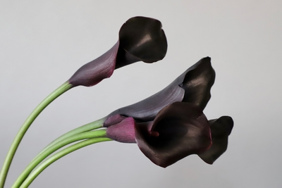 Title: Black Calla 1/10 , Size: 11 x 8.5 , Medium: photo , Price: $95