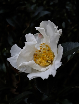 Title: White Camellia (small) 1/10 , Size: 11 x 8.5 , Medium: photo , Price: $95